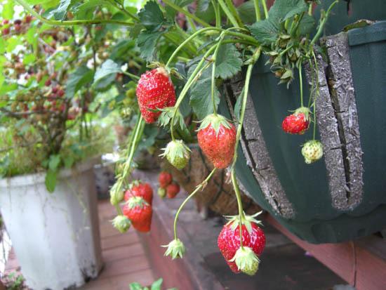 20110526berry1.JPG