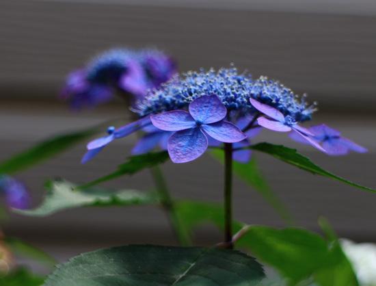 藍姫.jpg