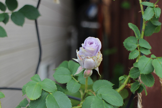 青薔薇1.jpg