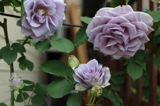 青薔薇2.jpg