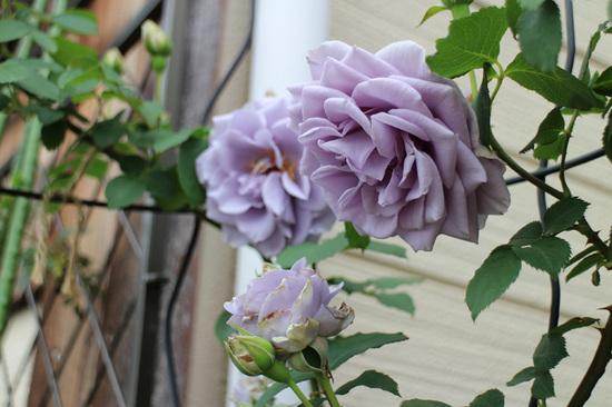 青薔薇3.jpg